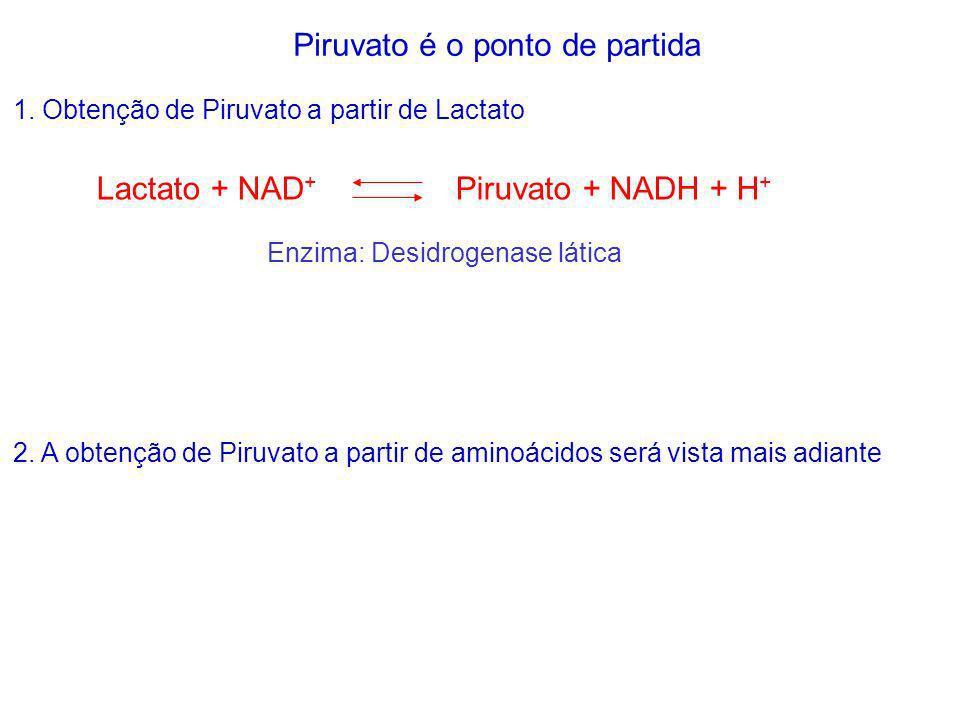 1. Obtenção de Piruvato a partir de Lactato Lactato + NAD + Piruvato + NADH + H + Enzima: Desidrogenase lática Piruvato é o ponto de partida 2. A obte