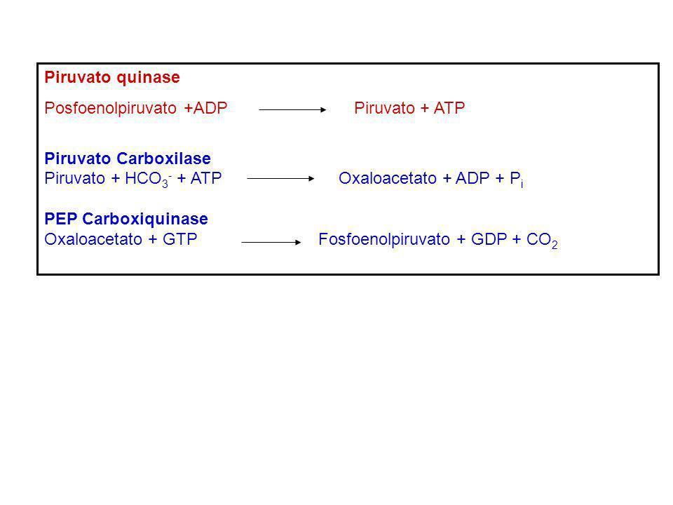 Piruvato quinase Posfoenolpiruvato +ADP Piruvato + ATP Piruvato Carboxilase Piruvato + HCO 3 - + ATP Oxaloacetato + ADP + P i PEP Carboxiquinase Oxalo