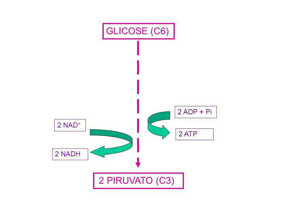 GLICOSE (C6) 2 PIRUVATO (C3) 2 ATP 2 ADP + Pi2 NAD + 2 NADH