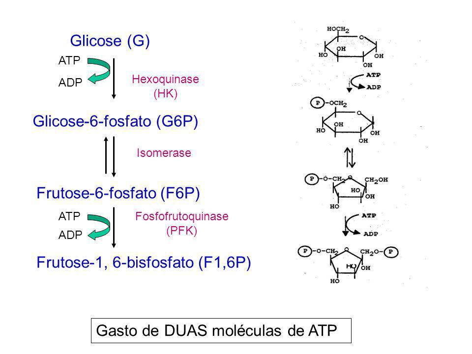 Glicose (G) Glicose-6-fosfato (G6P) Frutose-6-fosfato (F6P) Frutose-1, 6-bisfosfato (F1,6P) Hexoquinase (HK) Fosfofrutoquinase (PFK) Isomerase ATP ADP
