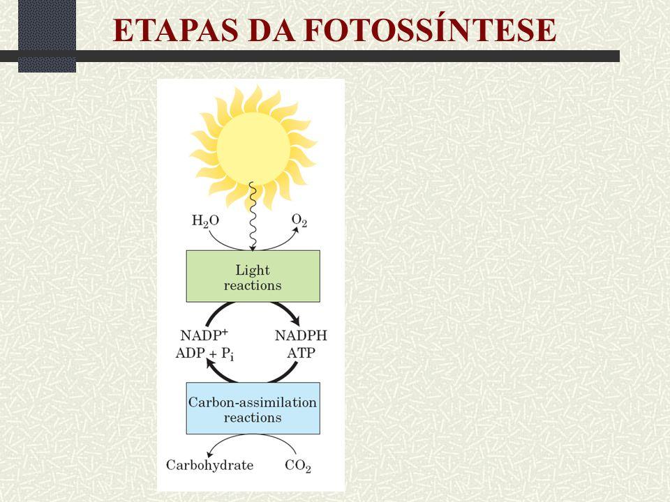 REAÇÕES LUMINOSAS Quenching não-fotoquímico Ciclo da xantofilas Luminosidade Baixa Alta Violaxantina Anteraxantina Zeaxantina + Prótons Proteínas - antena Alterações na conformação Quenching e dissipação por calor
