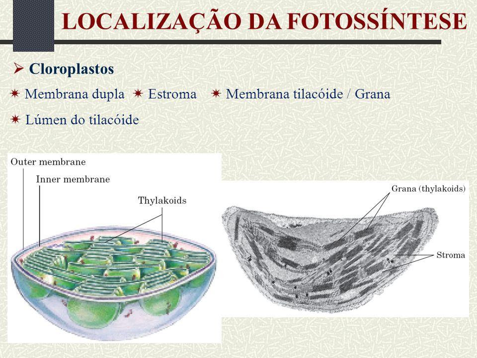 LOCALIZAÇÃO DA FOTOSSÍNTESE Membrana do tilacóide Contém os pigmentos fotossintetizantes Reações luminosas da fotossíntese Estroma Contém o aparato necessário para a assimilação de CO 2 Reações de carboxilação da fotossíntese