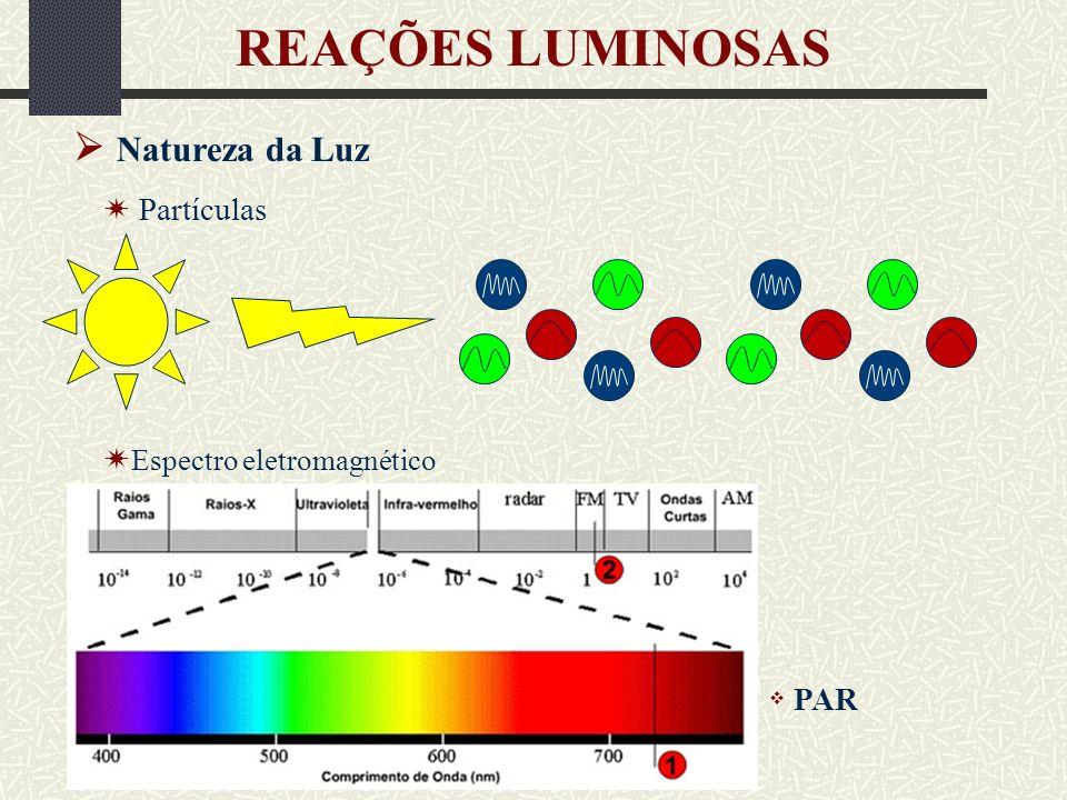 Pigmentos fotossintéticos Absorvem luz visível em diferentes comprimentos de onda REAÇÕES LUMINOSAS Estado-base (de menor energia) Absorção de luz (λ) é Cla é Calor Cla é Emissão de luz (λ mais longo) Cla é Calor Cla Aceptor é é