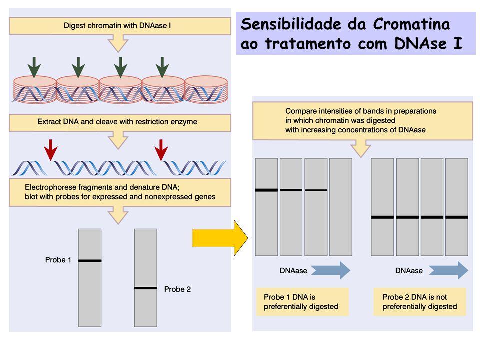 Em eritrócitos de galinha o gene da beta-globina adulta é mais sensível a digestão com DNAse I enquanto o gene da beta-globina embriônica é menos sensível.