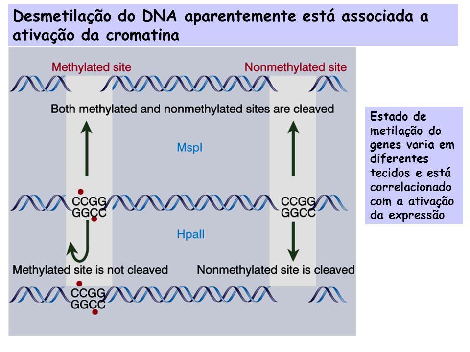 Níveis de Regulação da Expressão Gênica em Eucariotos Ativação da estrutura do gene (cromatina ativa) Início da Transcrição Processamento do Transcrito Transporte do mRNA para o citoplasma Estabilidade do mRNA Tradução do mRNA Processamento da Proteína