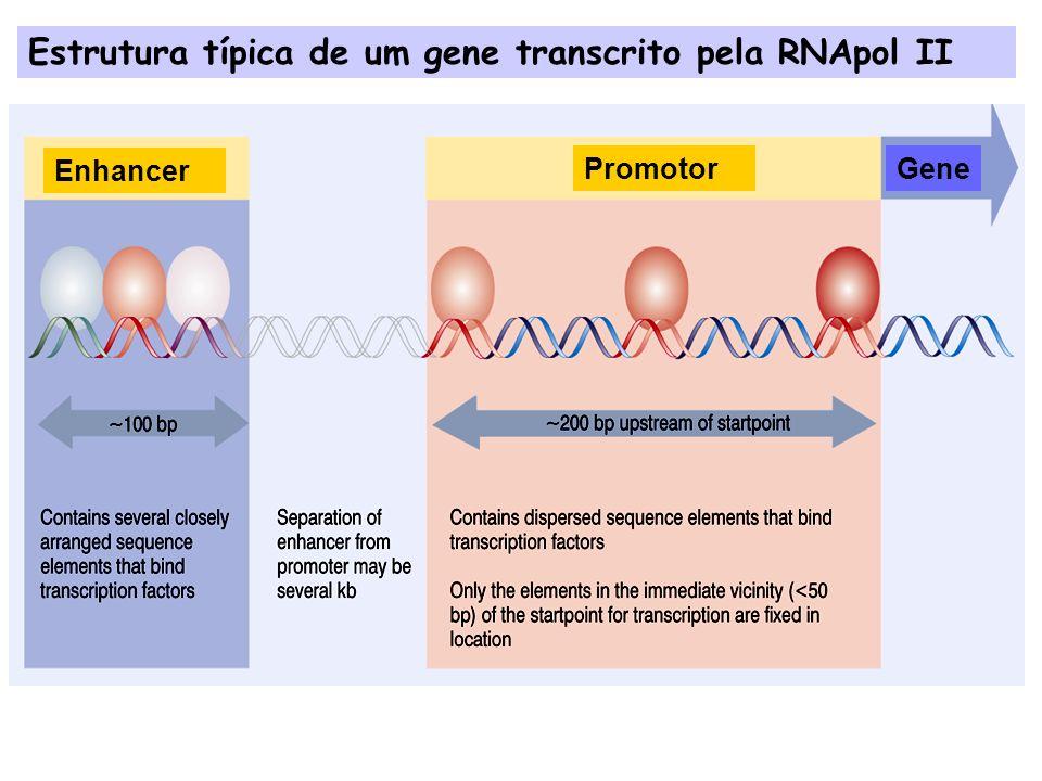 Promotores de genes transcritos pela RNApol II Tata Binding Protein Complexo TFIID