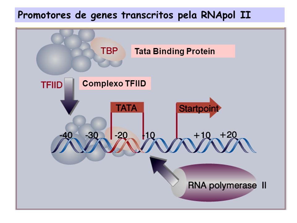 Promotores de genes transcritos pela RNApol III e I: A TBP também é componente dos complexos de iniciação de transcrição destes promotores