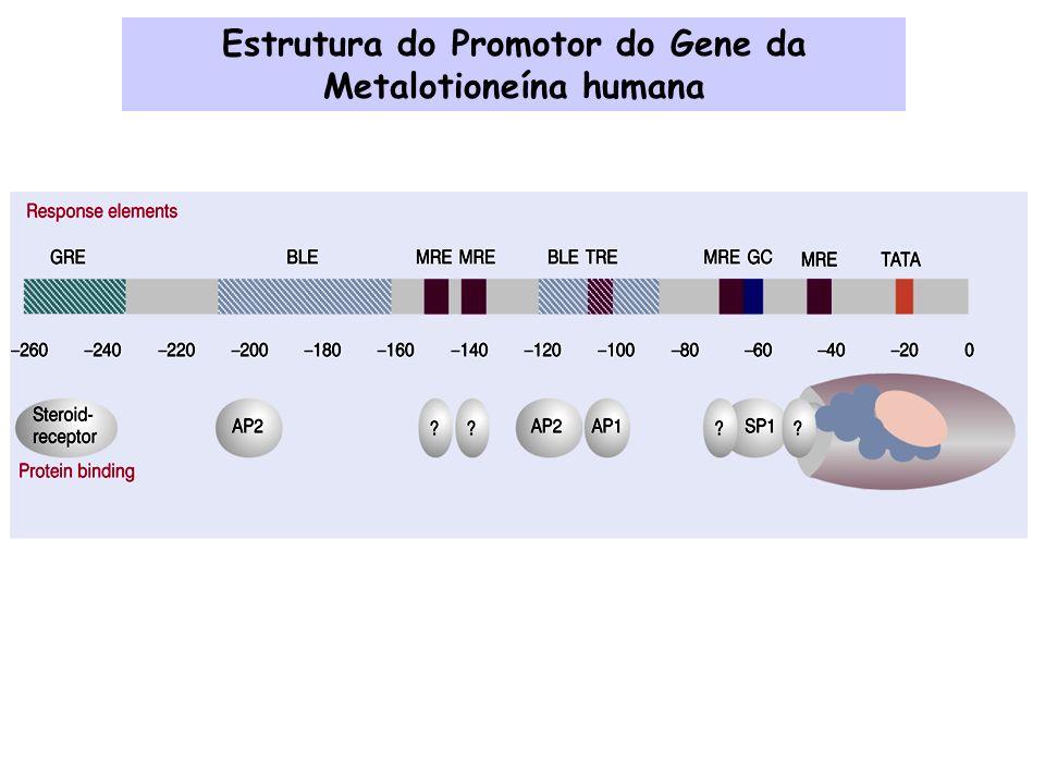 Transcrição Ativada Testículos Transcrição Inativada Tecido embriônico Gene histona H2B em ouriço do mar