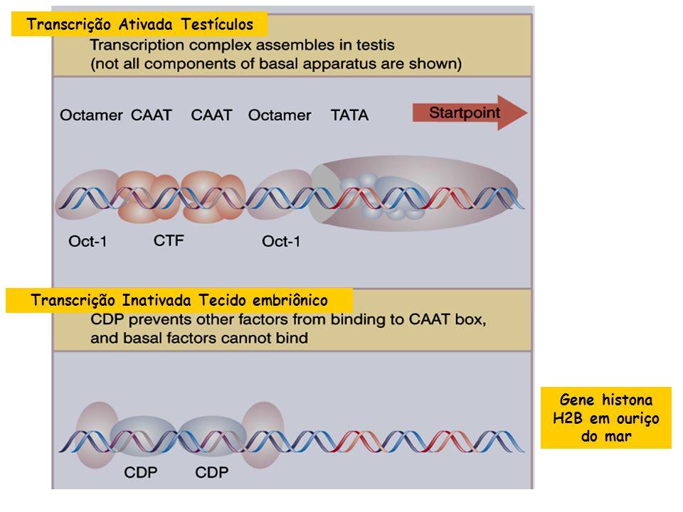O complexo basal de transcrição sofre regulação de Fatores de Transcrição específicos CoAtivador Fator de Transcrição Ativador Complexo Basal