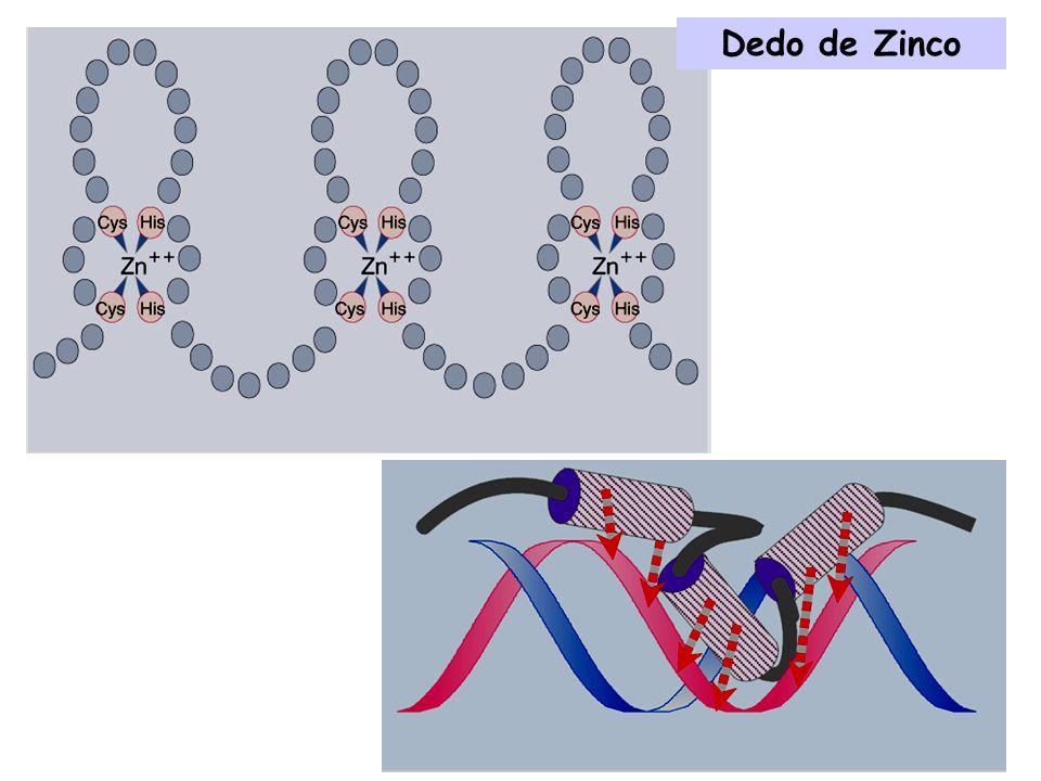 Especificidade dos receptores esteroídicos conferida por variações na sequência do dedo de zinco