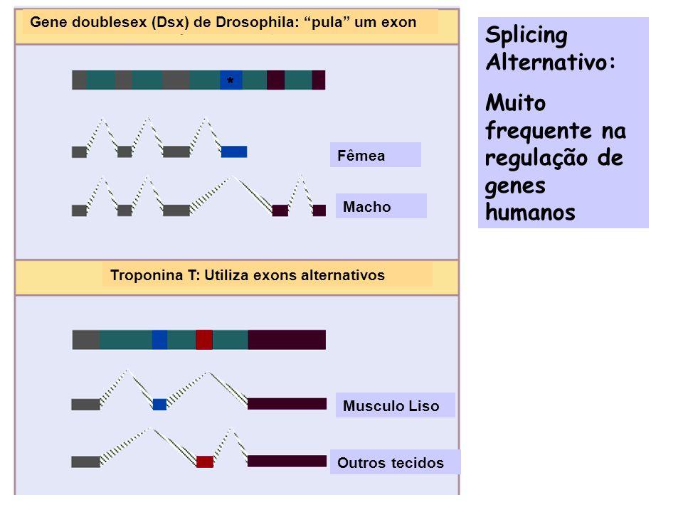 Determinação do sexo em Drosophila: regulação por splicing alternativo FêmeaMacho Dsx Bloqueio de diferenciação da fêmea Supressão dos genes masculinos MachoFêmea