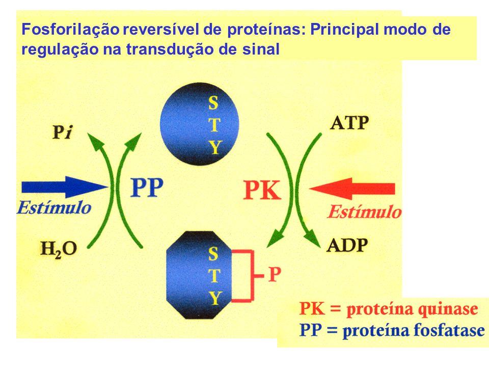 Proteína quinase (PK) transfere fosfato do ATP para aminoácidos