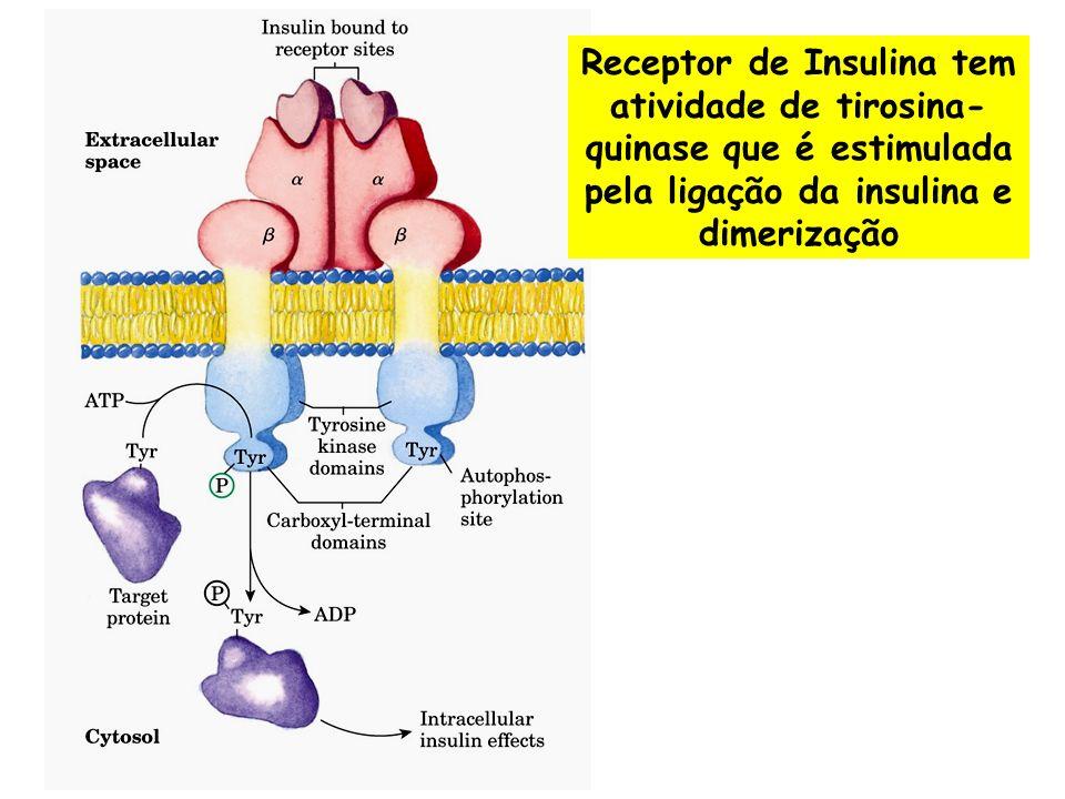 Ativação de uma cascata de quinases Ligante + Receptor Dimerização e Autofosforilação do Receptor Interação com proteínas com domínio SH2 domínio SH2 reconhece tirosina fosforilada