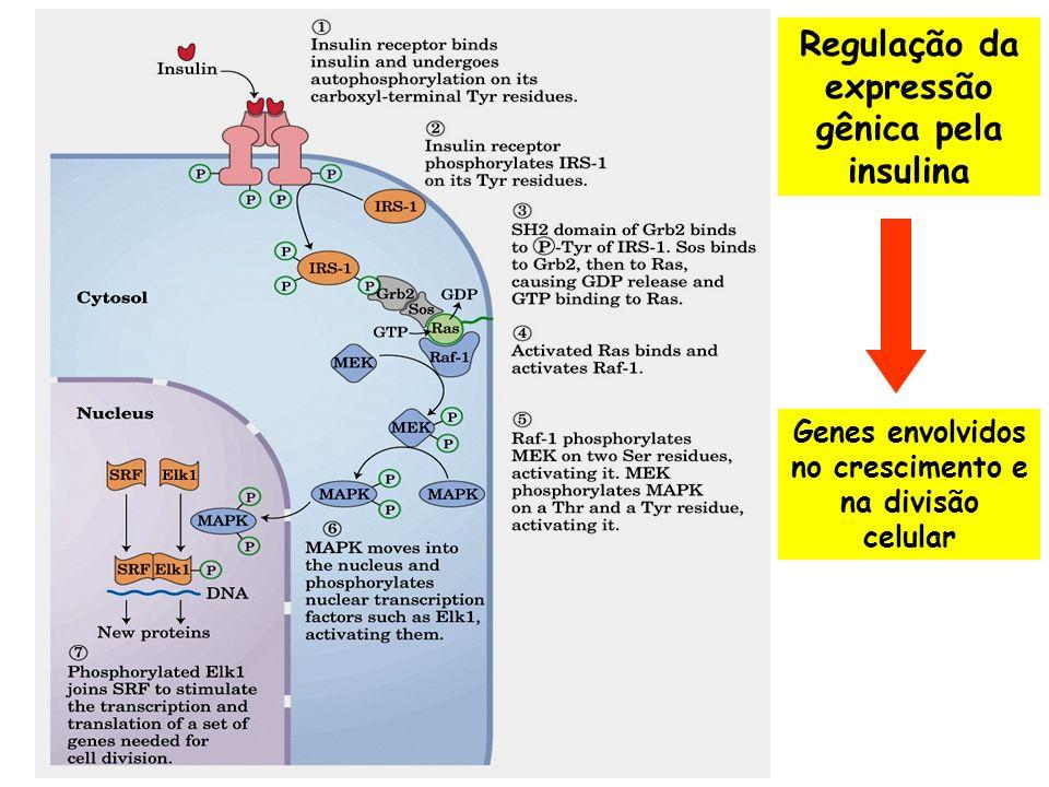 Cascata de transdução de sinal em resposta ao estímulo por EGF (fator de crescimento epidérmico)