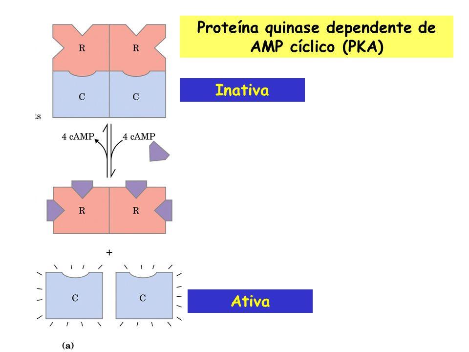 Ativação do fator de transcrição CREB (cAMP response element binding protein)