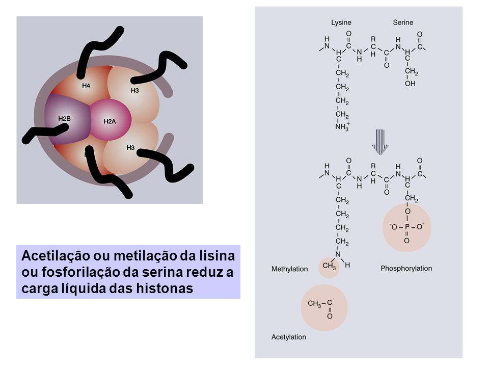 Acetilação/desacetilação de Histonas controlam a atividade da cromatina Cromatina Ativa é mais sensível ao tratamento com nucleases (ex: DNAseI)