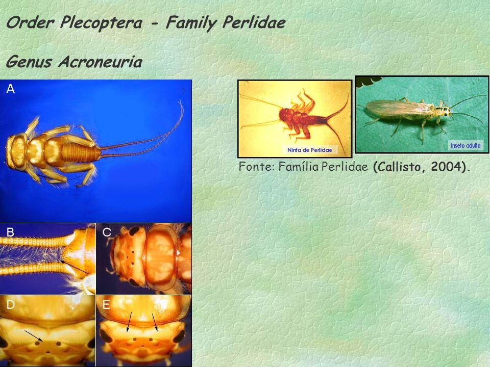 Order Plecoptera - Family Perlidae Genus Acroneuria ) Fonte: Família Perlidae (Callisto, 2004).