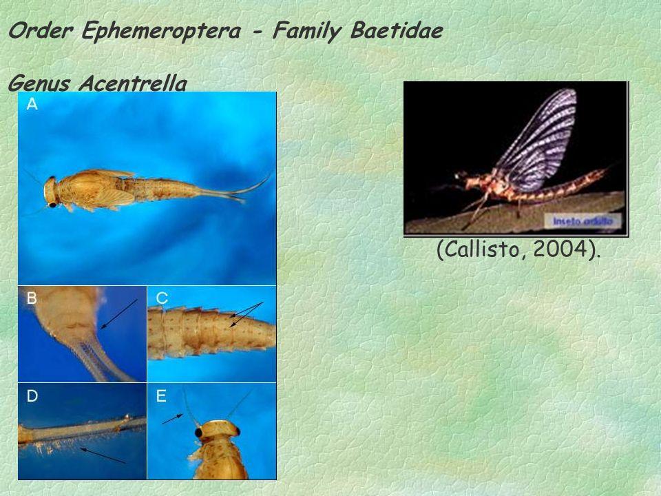 Order Ephemeroptera - Family Baetidae Genus Acentrella (Callisto, 2004).