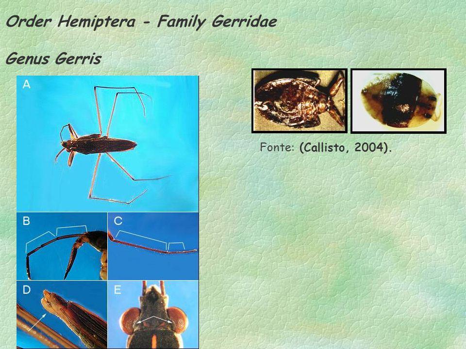 Order Hemiptera - Family Gerridae Genus Gerris Fonte: (Callisto, 2004).