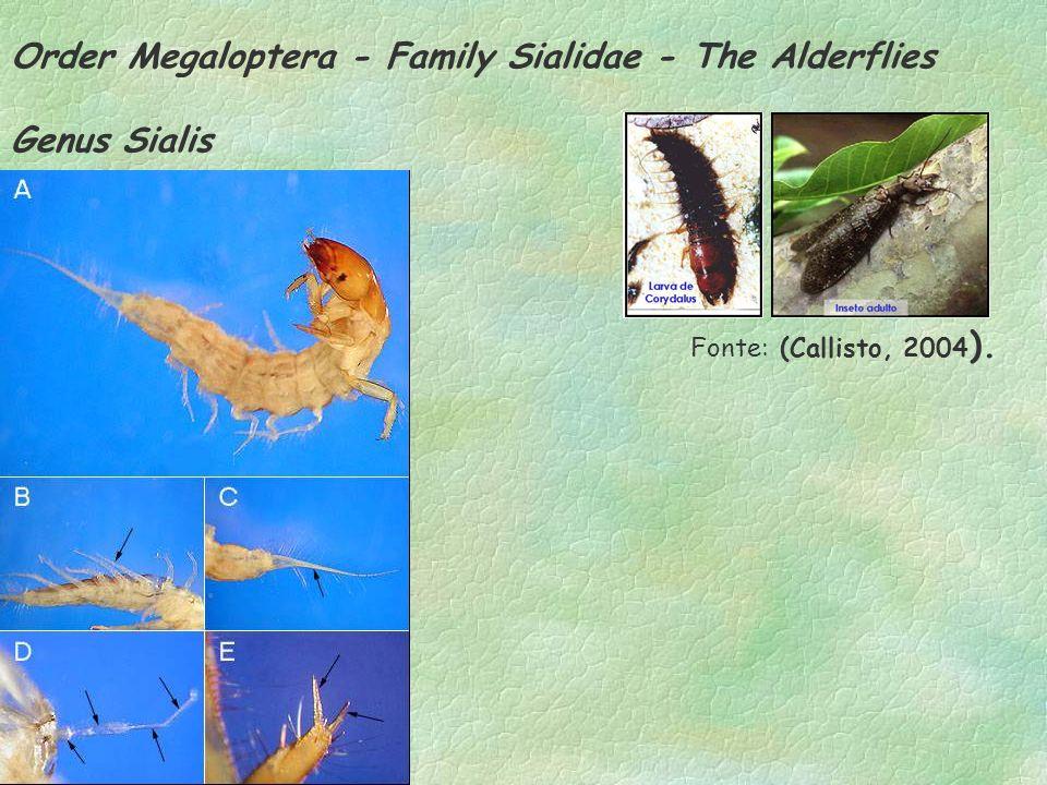 Order Megaloptera - Family Sialidae - The Alderflies Genus Sialis Fonte: (Callisto, 2004 ).