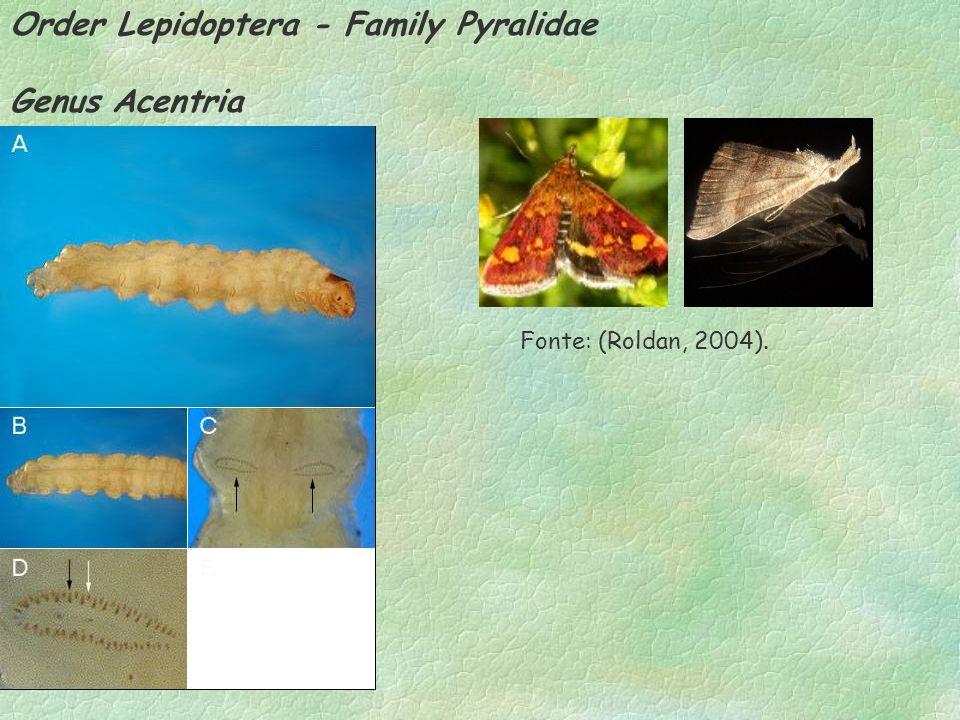 Order Lepidoptera - Family Pyralidae Genus Acentria Fonte: (Roldan, 2004).