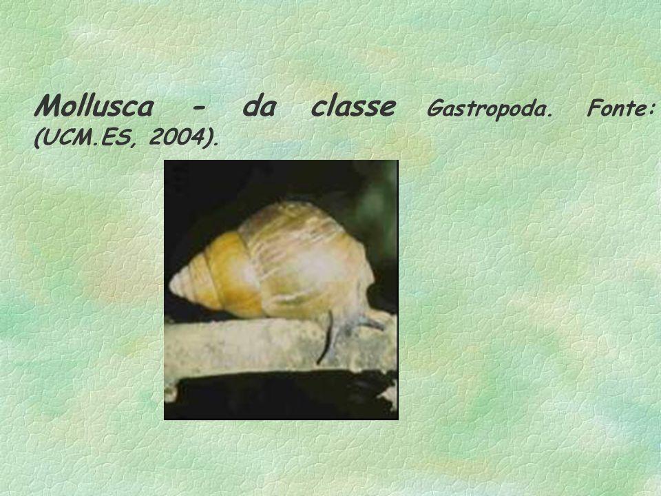 Mollusca - da classe Gastropoda. Fonte: (UCM.ES, 2004).