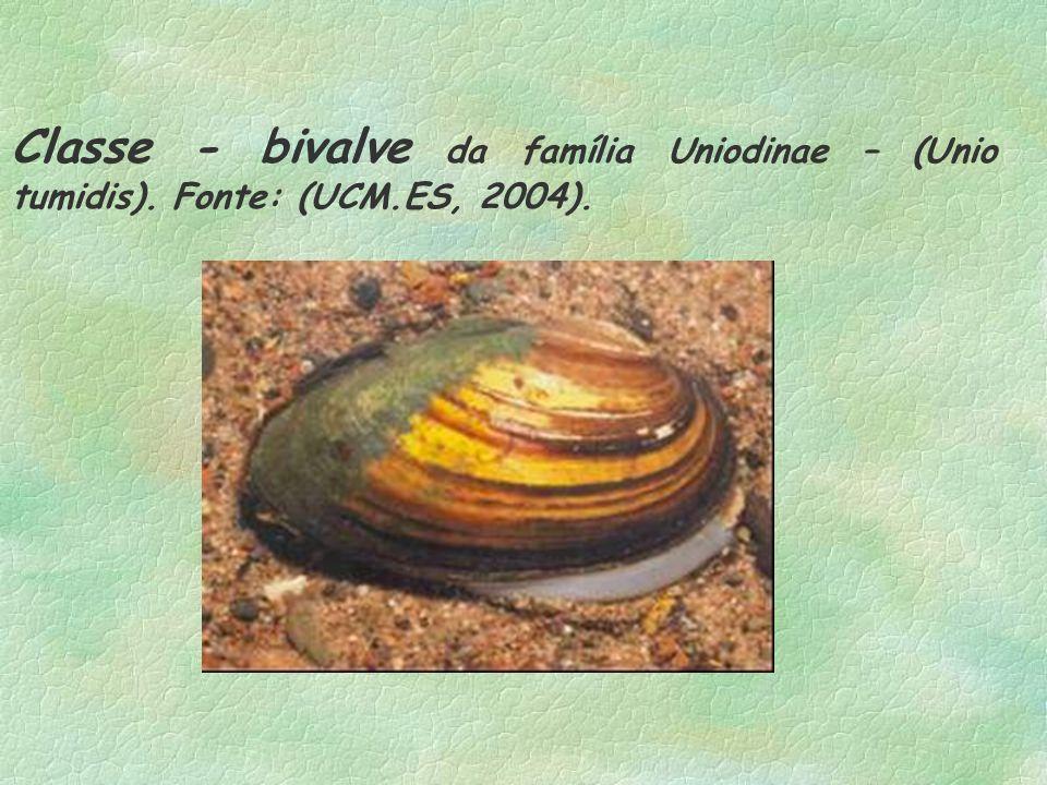 Classe - bivalve da família Uniodinae – (Unio tumidis). Fonte: (UCM.ES, 2004).