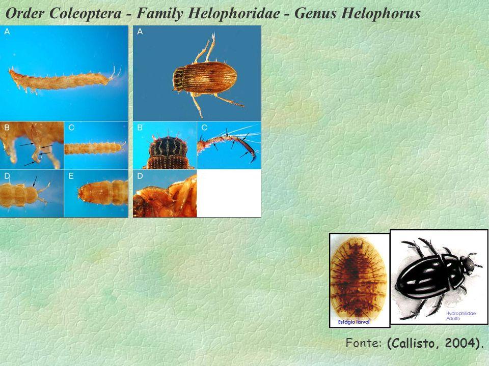 Order Coleoptera - Family Helophoridae - Genus Helophorus Fonte: (Callisto, 2004).