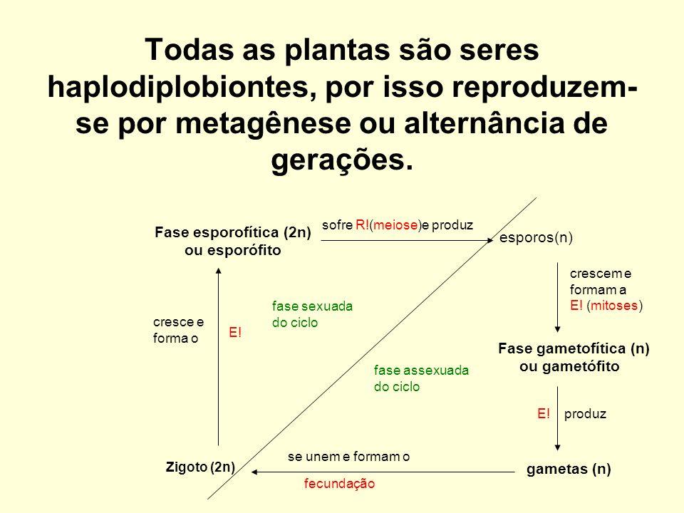 Todas as plantas são seres haplodiplobiontes, por isso reproduzem- se por metagênese ou alternância de gerações. Fase esporofítica (2n) ou esporófito
