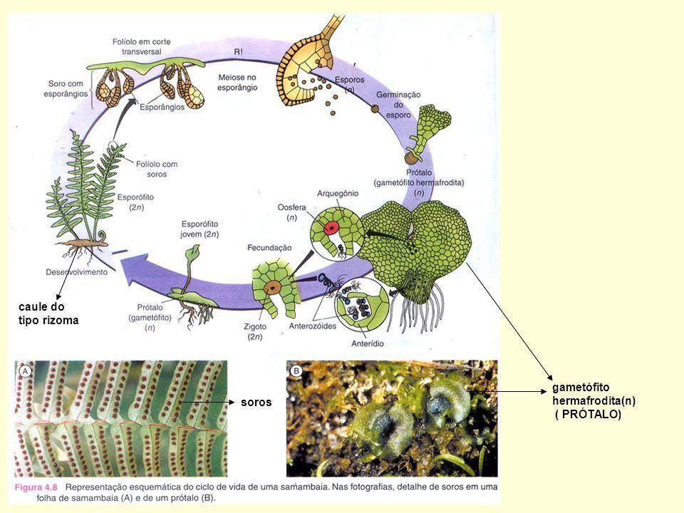 caule do tipo rizoma soros gametófito hermafrodita(n) ( PRÓTALO)