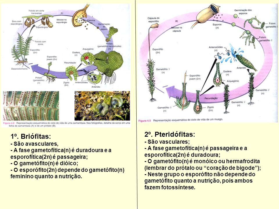 1º. Briófitas: - São avasculares, - A fase gametofítica(n) é duradoura e a esporofítica(2n) é passageira; - O gametófito(n) é dióico; - O esporófito(2