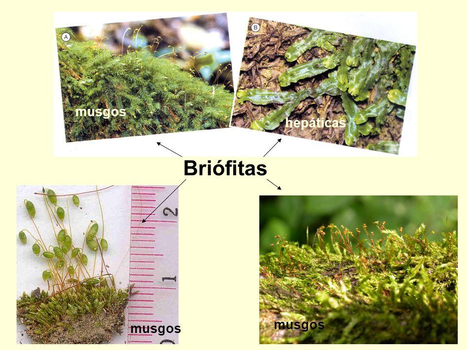 Briófitas musgos hepáticas musgos