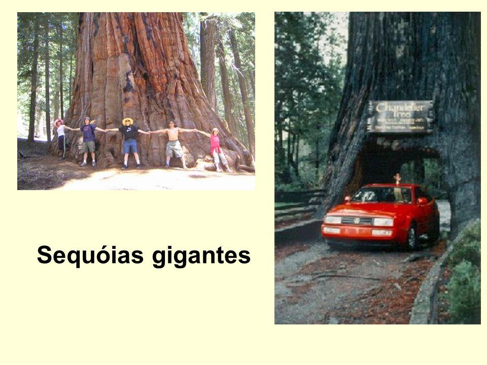 Sequóias gigantes