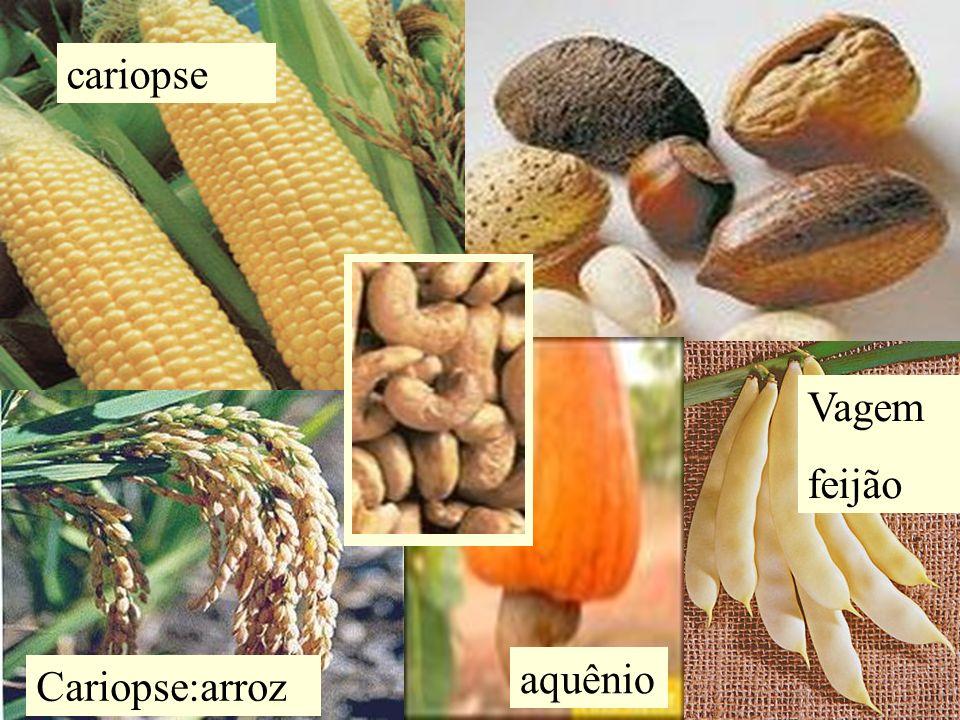 Vagem feijão cariopse Cariopse:arroz aquênio