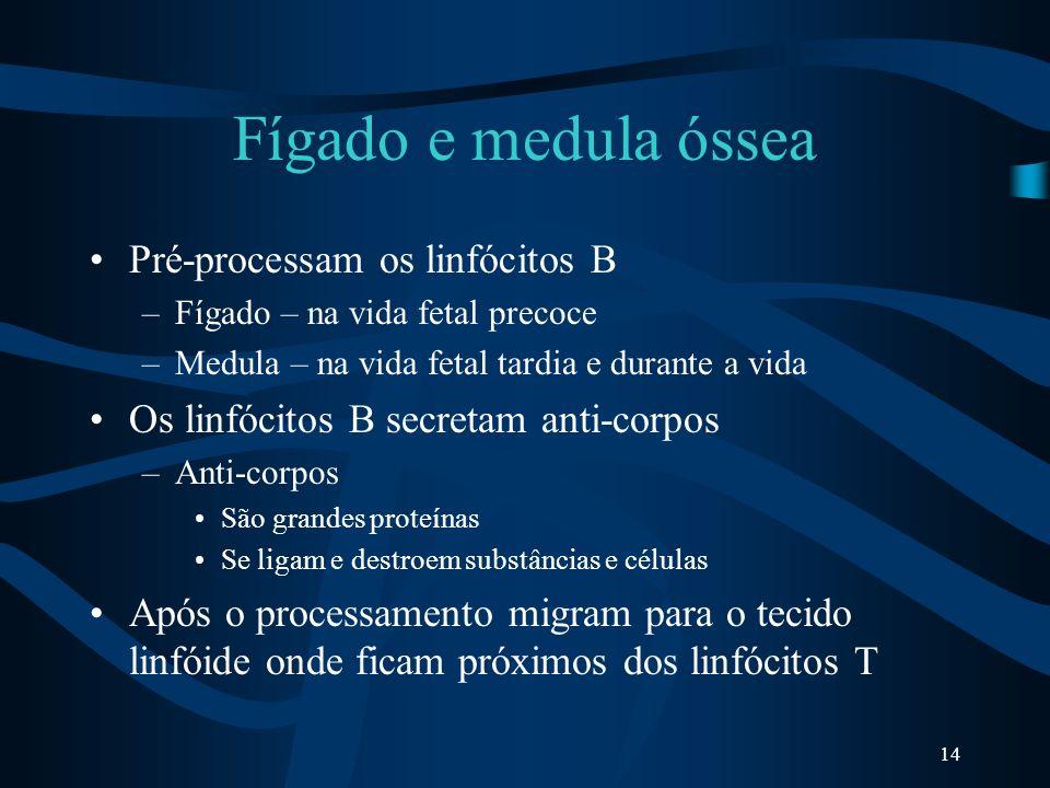 14 Fígado e medula óssea Pré-processam os linfócitos B –Fígado – na vida fetal precoce –Medula – na vida fetal tardia e durante a vida Os linfócitos B