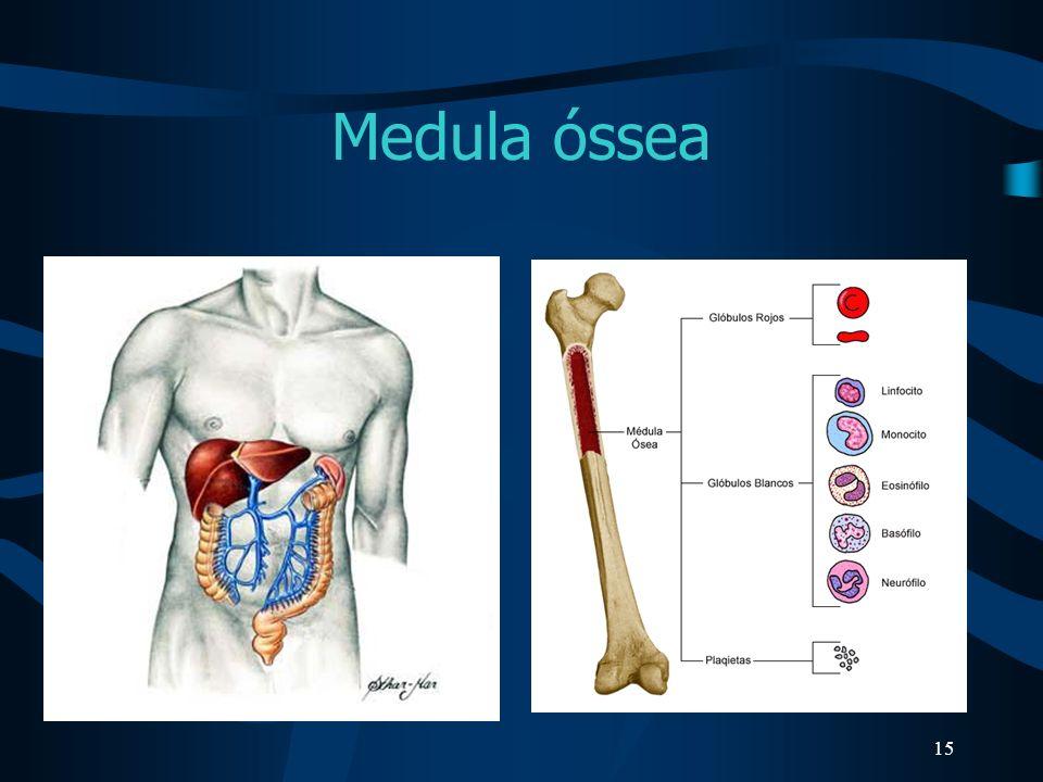 15 Medula óssea