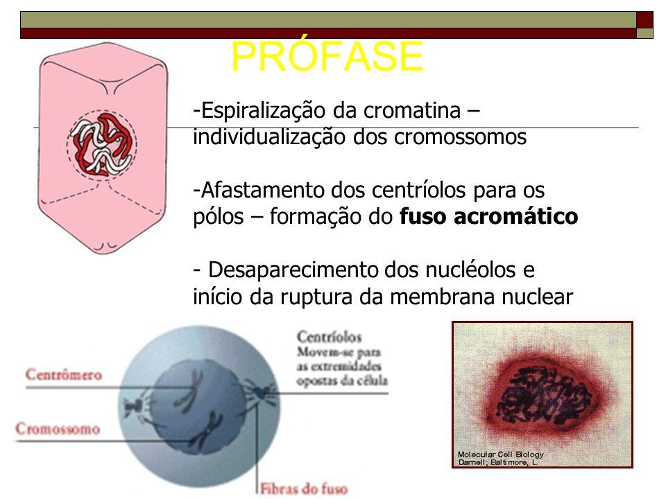 PRÓFASE -Espiralização da cromatina – individualização dos cromossomos -Afastamento dos centríolos para os pólos – formação do fuso acromático - Desaparecimento dos nucléolos e início da ruptura da membrana nuclear