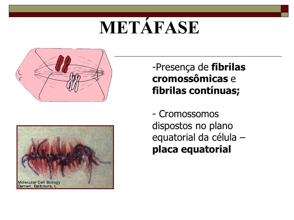 METÁFASE -Presença de fibrilas cromossômicas e fibrilas contínuas; - Cromossomos dispostos no plano equatorial da célula – placa equatorial