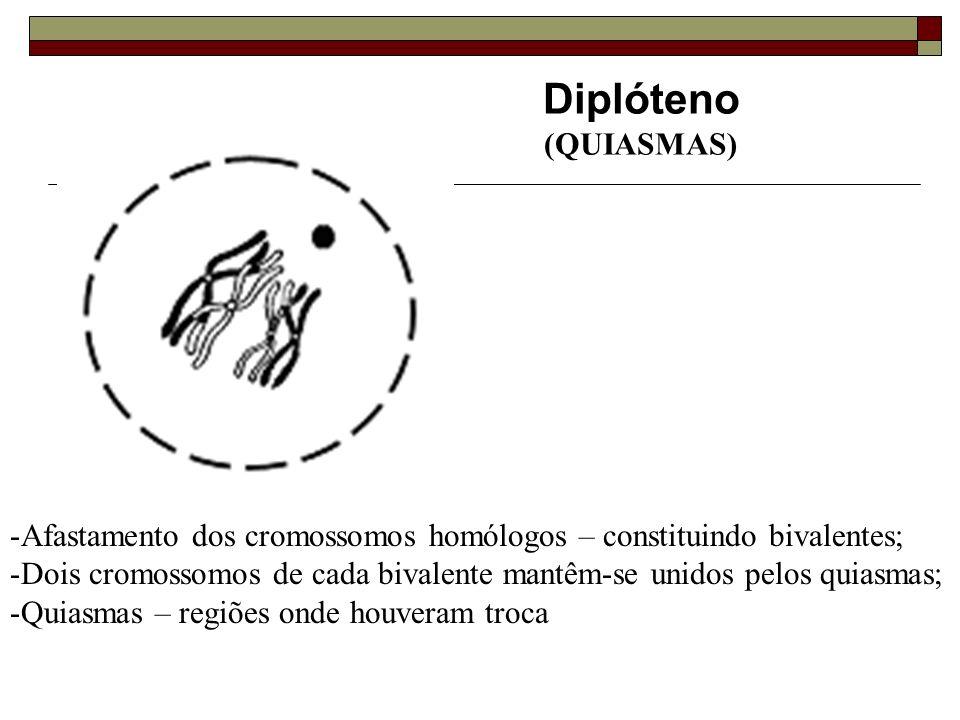 Diplóteno (QUIASMAS) -Afastamento dos cromossomos homólogos – constituindo bivalentes; -Dois cromossomos de cada bivalente mantêm-se unidos pelos quiasmas; -Quiasmas – regiões onde houveram troca