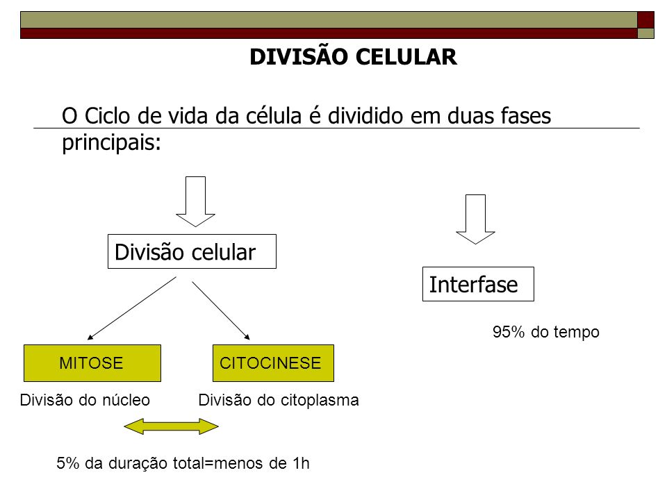 DIVISÃO CELULAR O Ciclo de vida da célula é dividido em duas fases principais: Divisão celular Interfase MITOSECITOCINESE Divisão do núcleoDivisão do citoplasma 5% da duração total=menos de 1h 95% do tempo