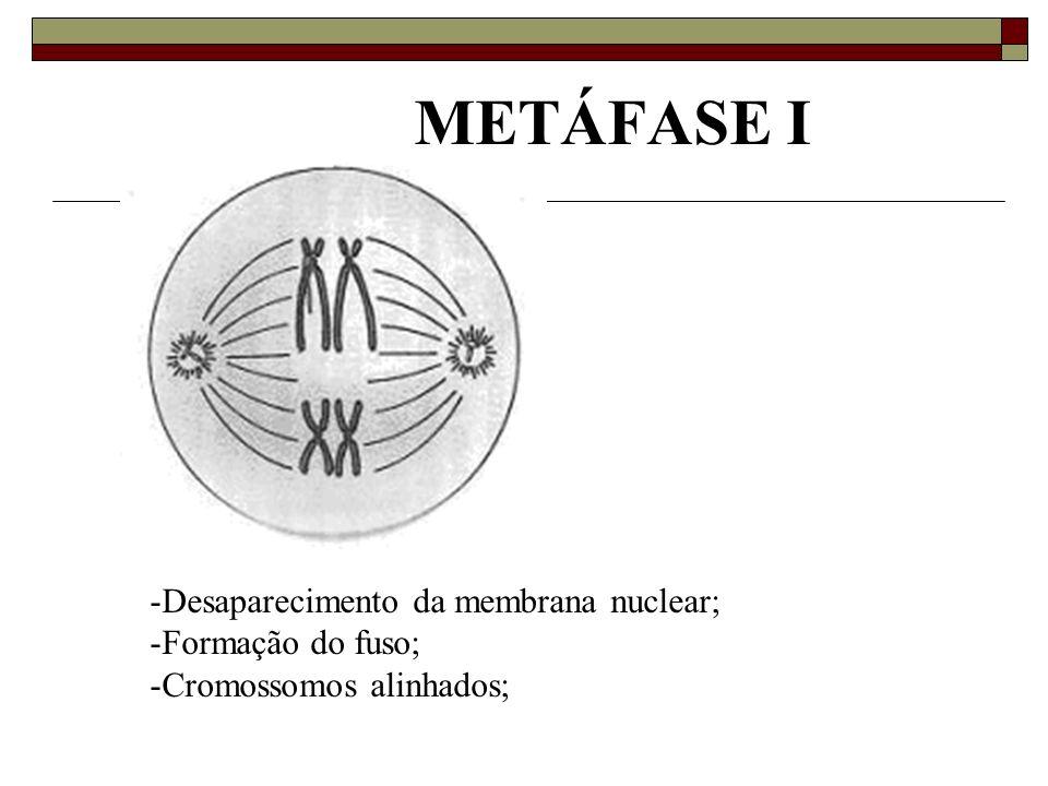 METÁFASE I -Desaparecimento da membrana nuclear; -Formação do fuso; -Cromossomos alinhados;