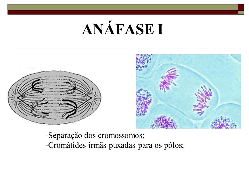 ANÁFASE I -Separação dos cromossomos; -Cromátides irmãs puxadas para os pólos;
