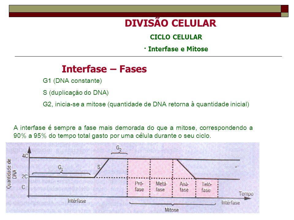 DIVISÃO CELULAR CICLO CELULAR · Interfase e Mitose Interfase – Fases G1 (DNA constante) S (duplica ç ão do DNA) G2, inicia-se a mitose (quantidade de DNA retorna à quantidade inicial) A interfase é sempre a fase mais demorada do que a mitose, correspondendo a 90% a 95% do tempo total gasto por uma c é lula durante o seu ciclo.