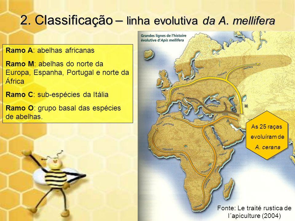 2. Classificação – linha evolutiva da A. mellifera Ramo A: abelhas africanas Ramo M: abelhas do norte da Europa, Espanha, Portugal e norte da África R