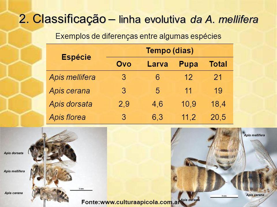 2. Classificação – linha evolutiva da A. mellifera Fonte:www.culturaapicola.com.ar TotalPupaLarvaOvo Espécie 20,511,26,33Apis florea 18,410,94,62,9Api