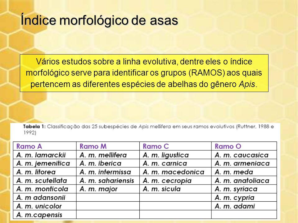Índice morfológico de asas Vários estudos sobre a linha evolutiva, dentre eles o índice morfológico serve para identificar os grupos (RAMOS) aos quais