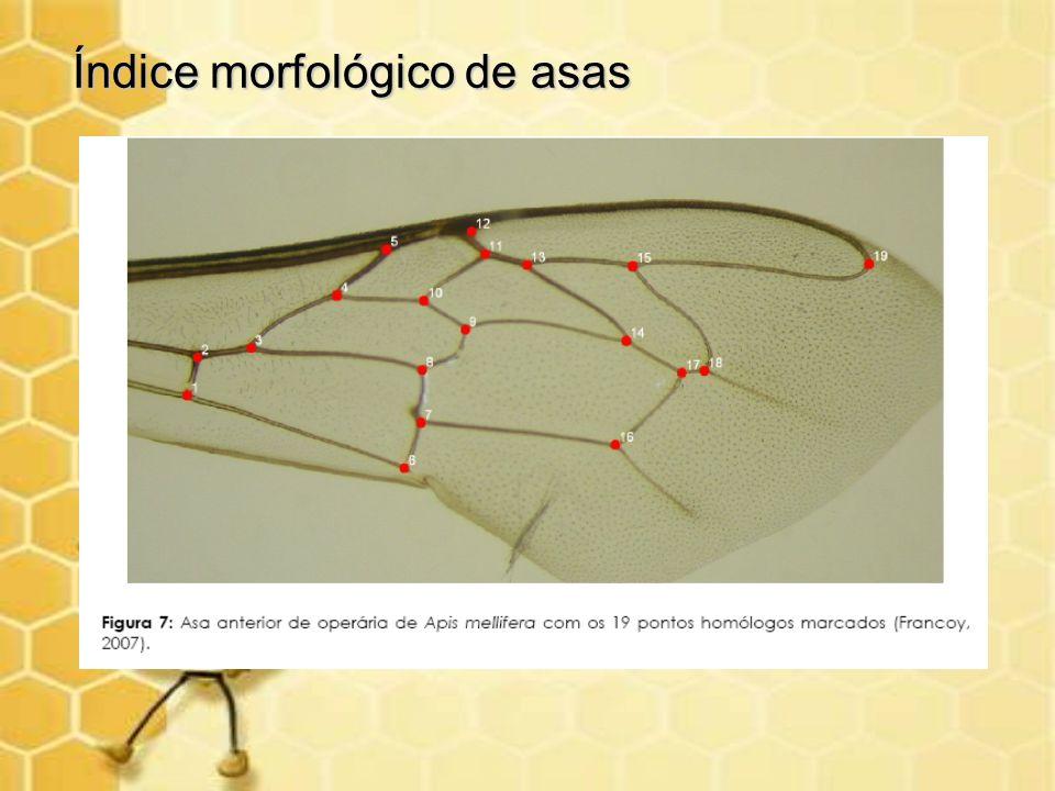 Índice morfológico de asas