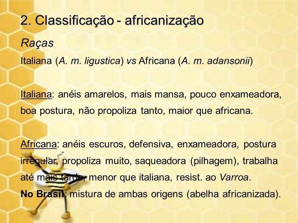 2. Classificação - africanização Raças Italiana (A. m. ligustica) vs Africana (A. m. adansonii) Italiana: anéis amarelos, mais mansa, pouco enxameador