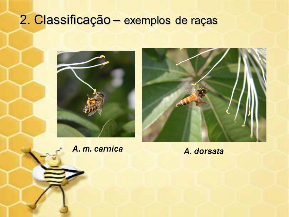 2. Classificação – exemplos de raças A. m. carnica A. dorsata