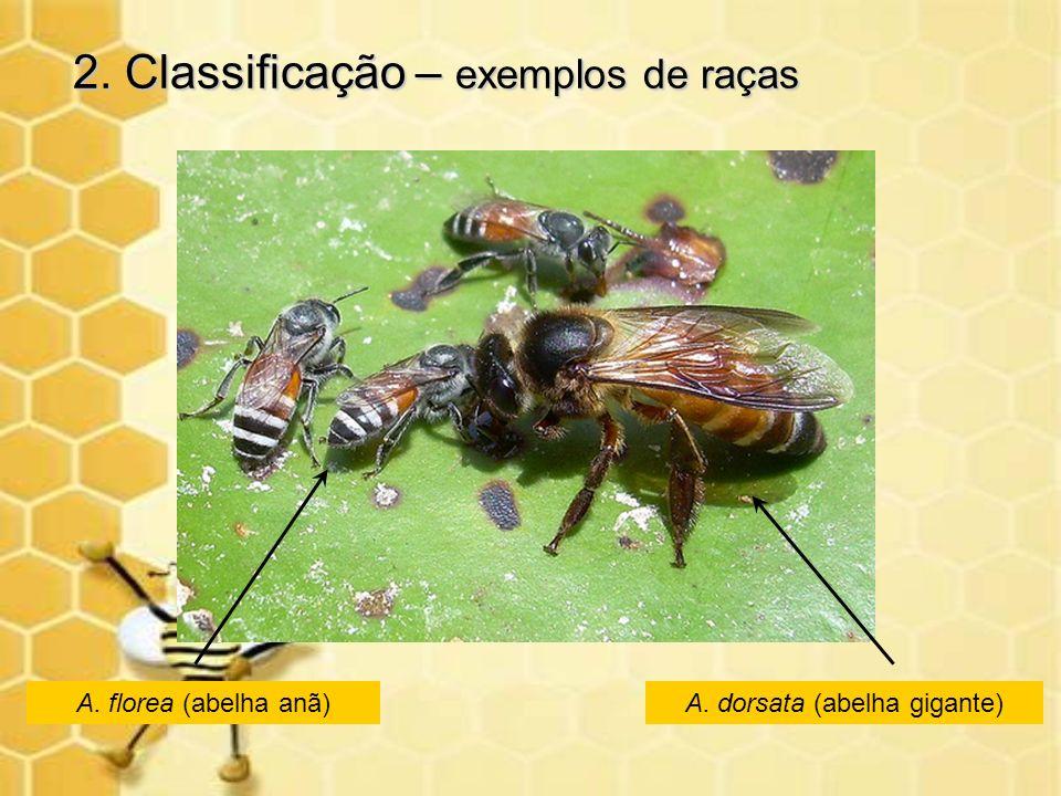 2. Classificação – exemplos de raças A. florea (abelha anã) A. dorsata (abelha gigante)
